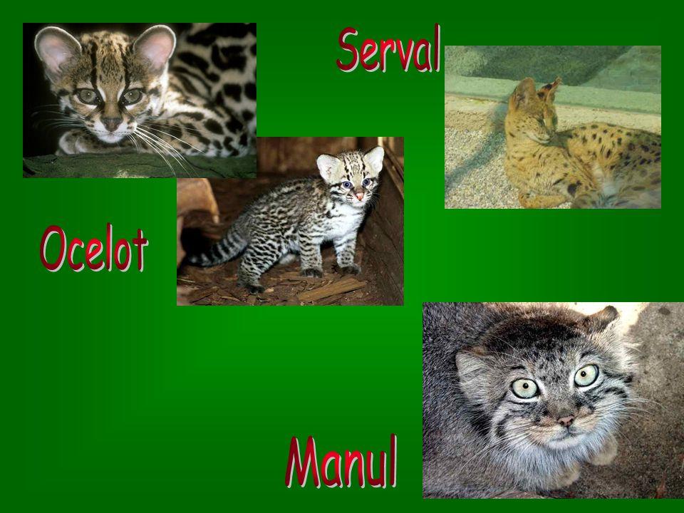 Serval Ocelot Manul