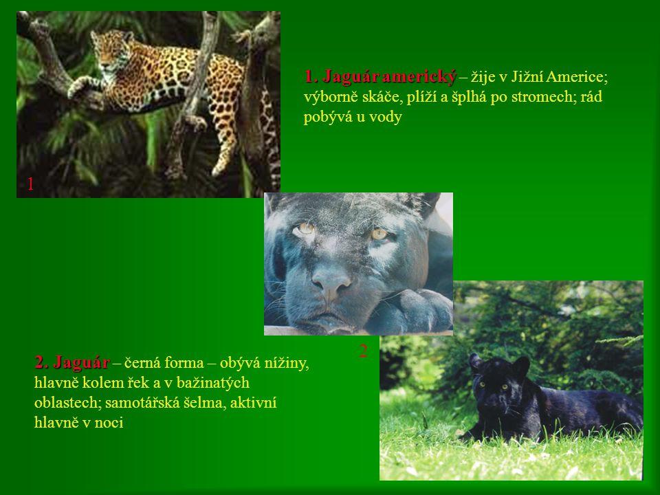 1 1. Jaguár americký – žije v Jižní Americe; výborně skáče, plíží a šplhá po stromech; rád pobývá u vody.