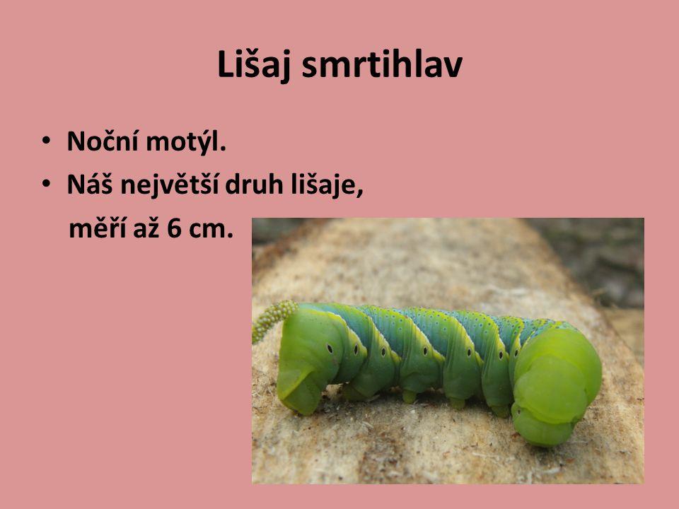 Lišaj smrtihlav Noční motýl. Náš největší druh lišaje, měří až 6 cm.
