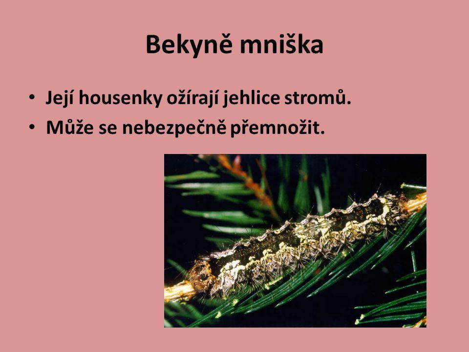 Bekyně mniška Její housenky ožírají jehlice stromů.