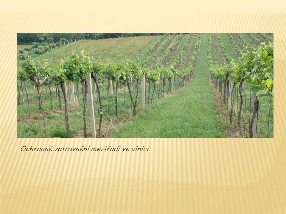 Ochranné zatravnění meziřadí ve vinici