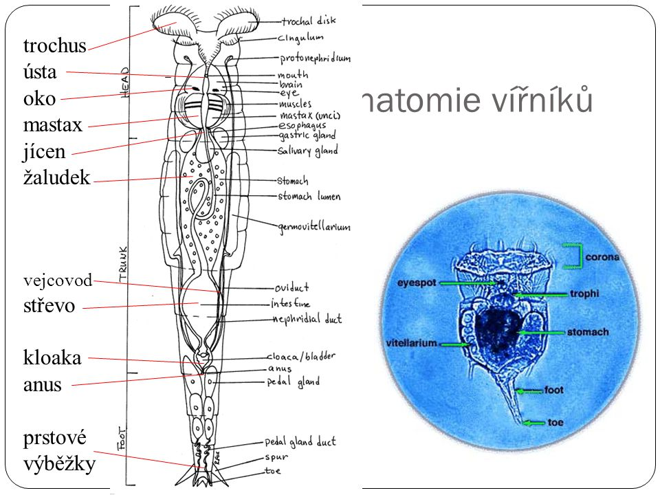 Anatomie vířníků trochus ústa oko mastax jícen žaludek střevo kloaka