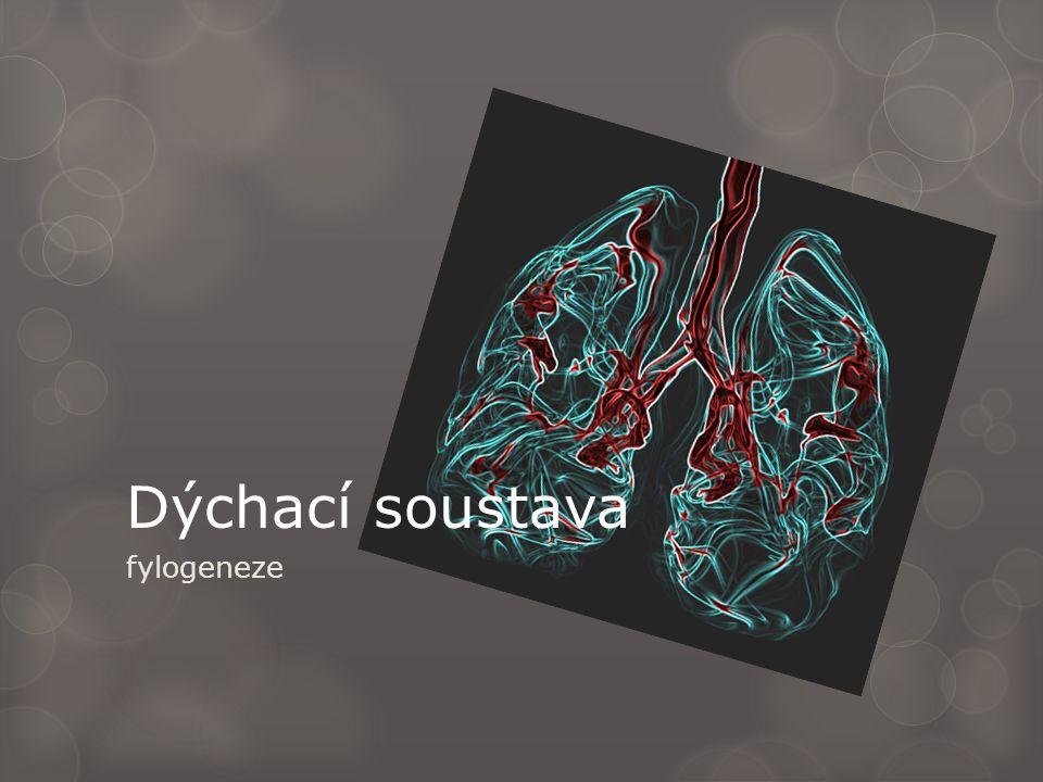 Dýchací soustava fylogeneze