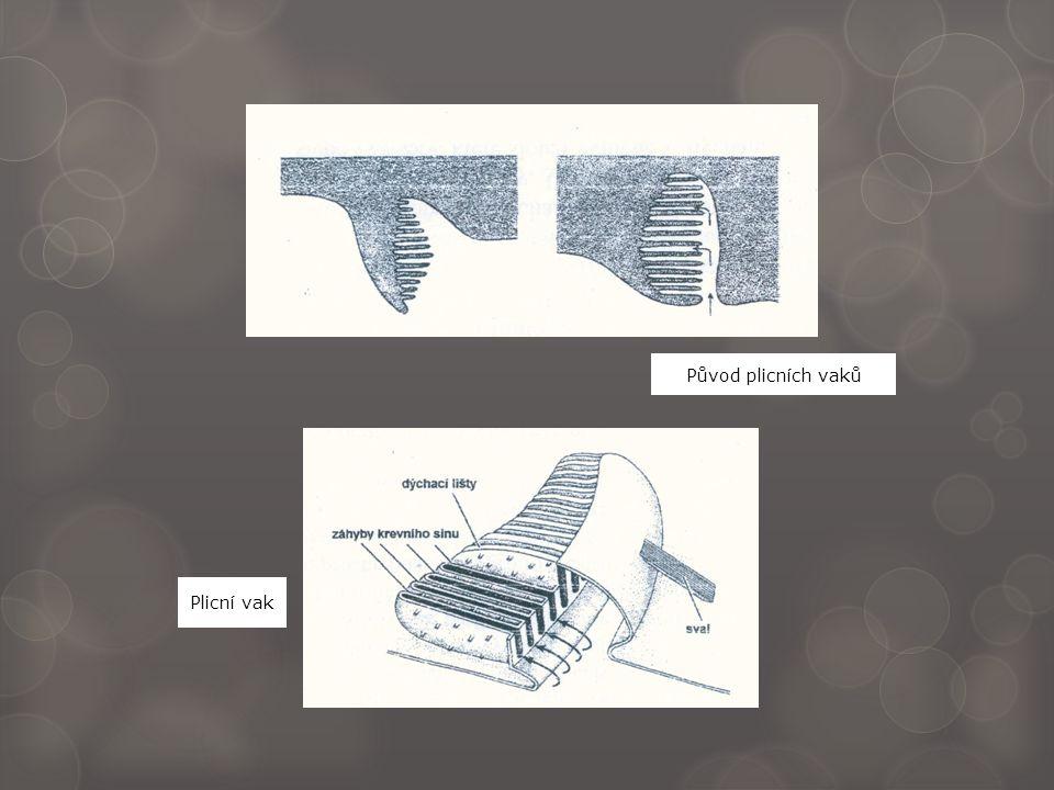Původ plicních vaků Plicní vak