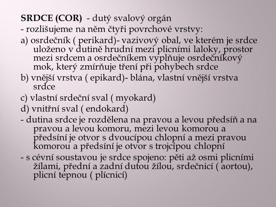 SRDCE (COR) - dutý svalový orgán