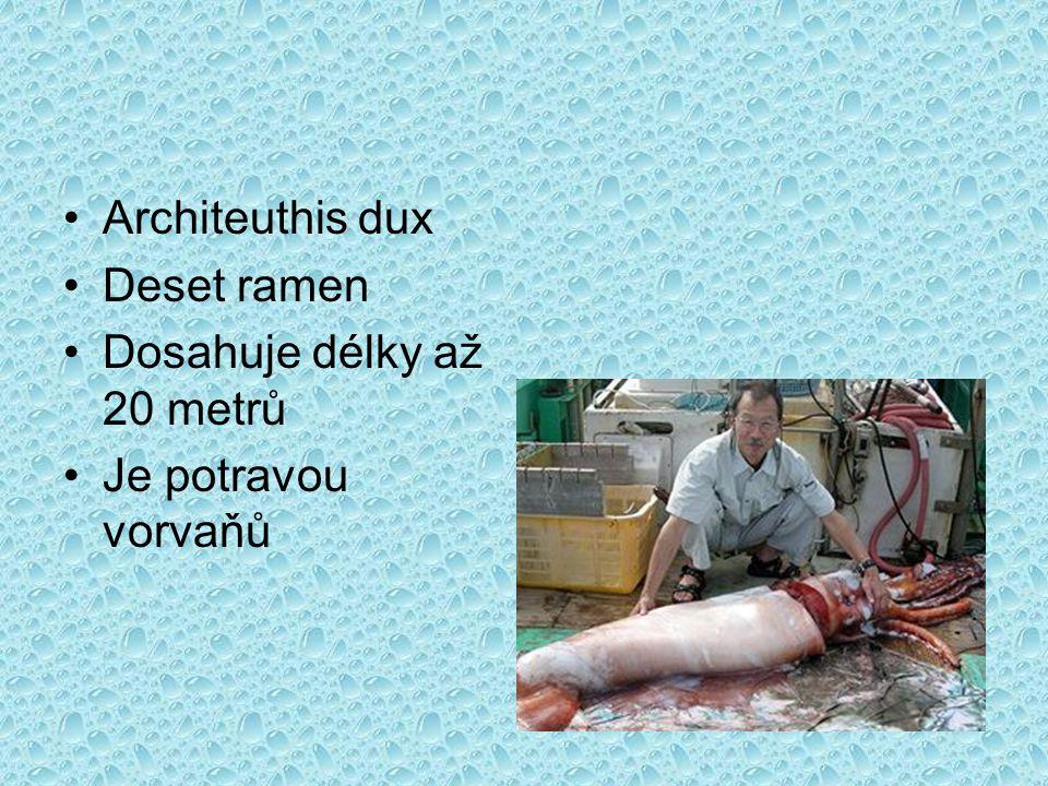Architeuthis dux Deset ramen Dosahuje délky až 20 metrů Je potravou vorvaňů