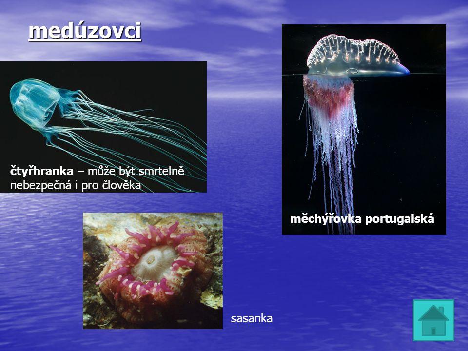 medúzovci čtyřhranka – může být smrtelně nebezpečná i pro člověka