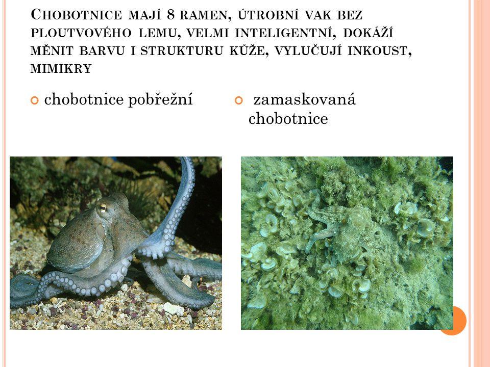 zamaskovaná chobotnice