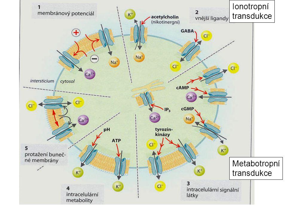 Ionotropní transdukce Metabotropní transdukce