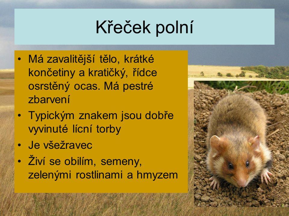 Křeček polní Má zavalitější tělo, krátké končetiny a kratičký, řídce osrstěný ocas. Má pestré zbarvení.