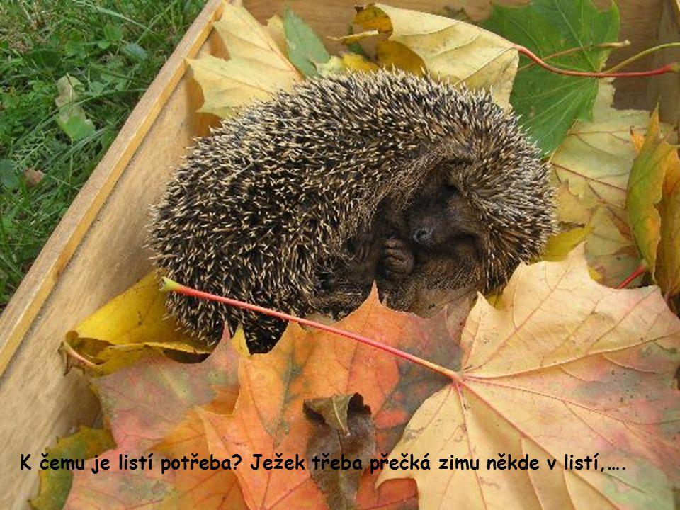 K čemu je listí potřeba Ježek třeba přečká zimu někde v listí,….