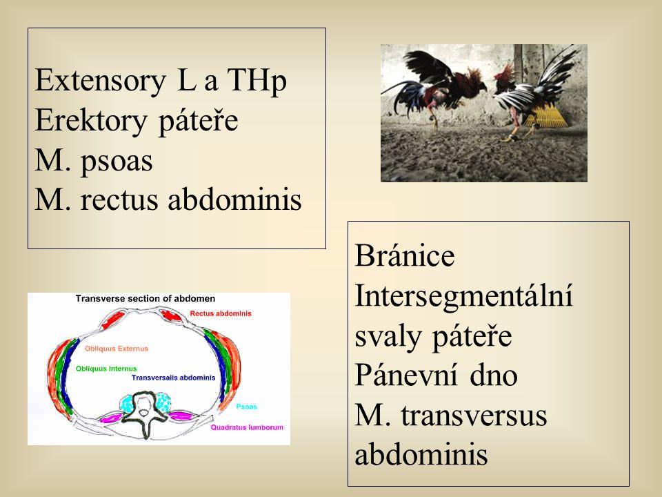 Extensory L a THp Erektory páteře. M. psoas. M. rectus abdominis. Bránice. Intersegmentální. svaly páteře.
