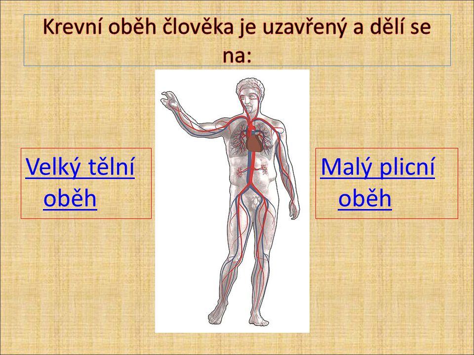 Krevní oběh člověka je uzavřený a dělí se na: