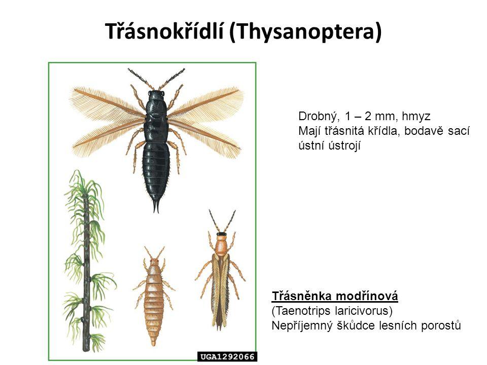 Třásnokřídlí (Thysanoptera)