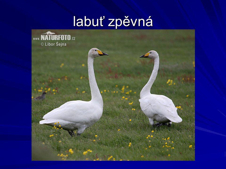 labuť zpěvná