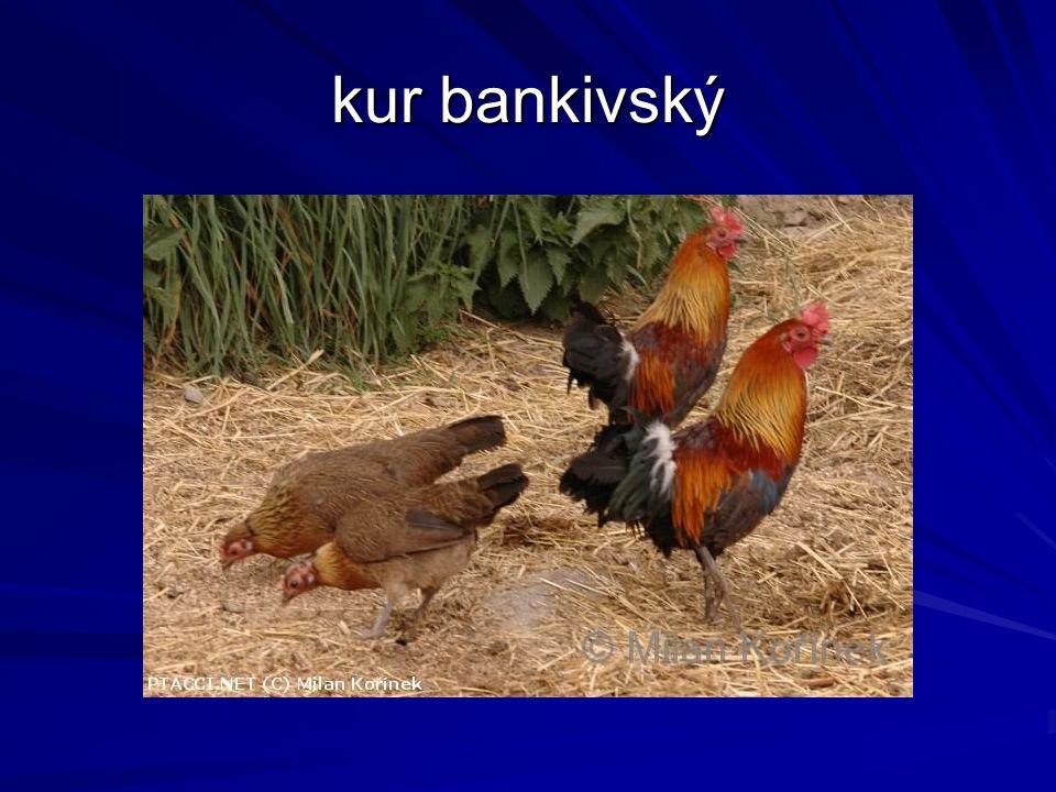 kur bankivský