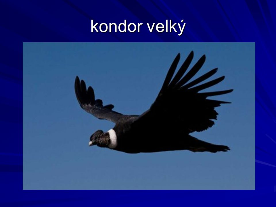 kondor velký