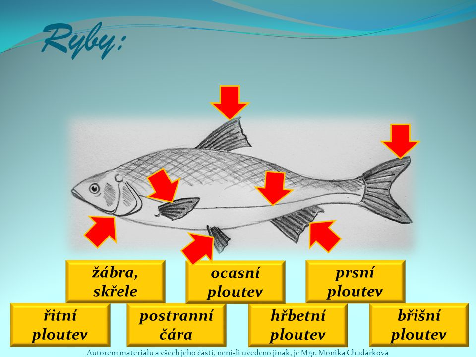 Ryby: žábra, skřele ocasní ploutev prsní ploutev řitní ploutev