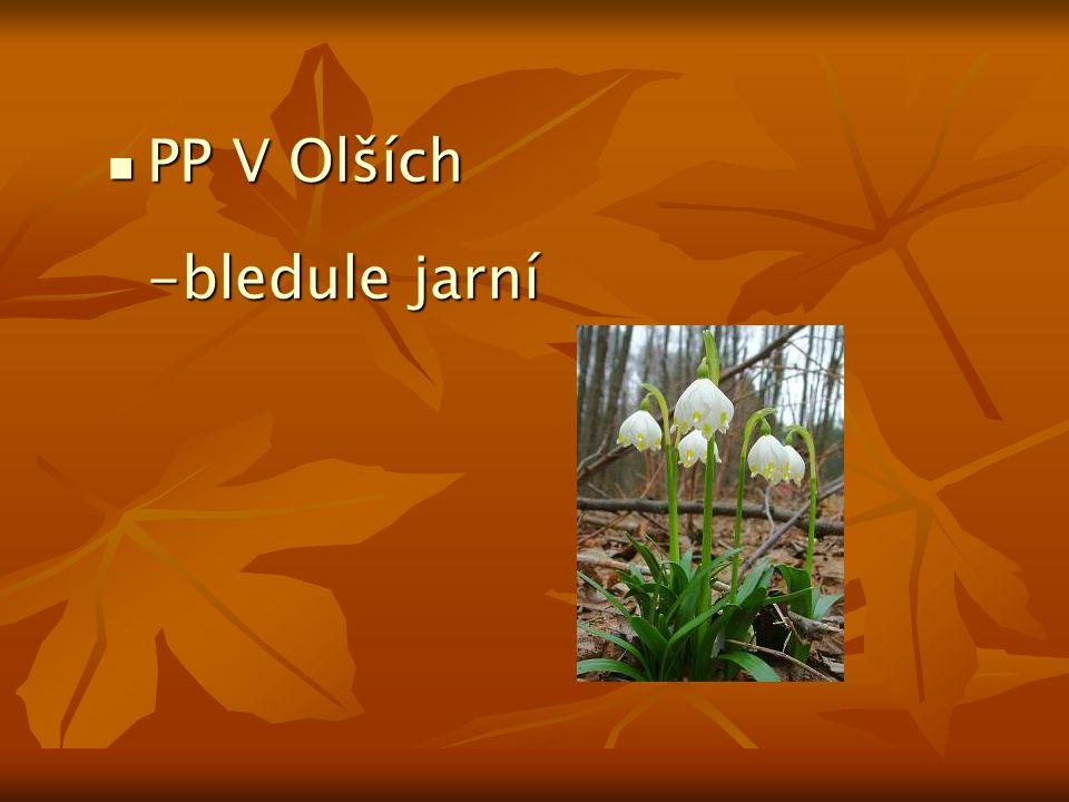 PP V Olších -bledule jarní