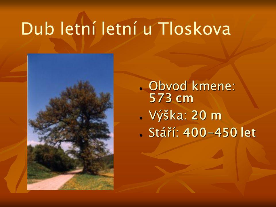 Dub letní letní u Tloskova