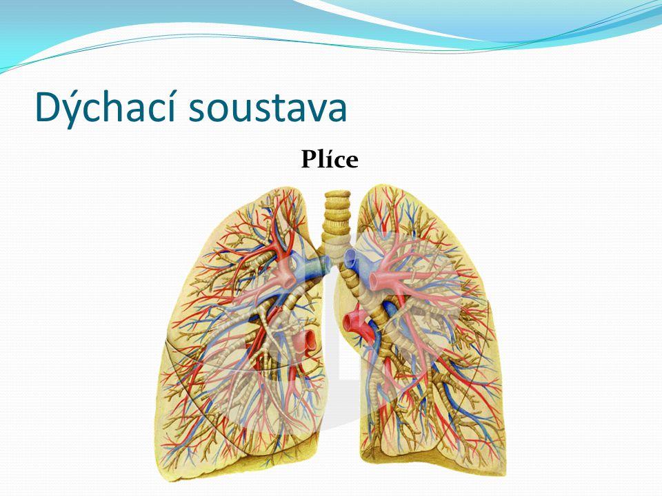 Dýchací soustava Plíce