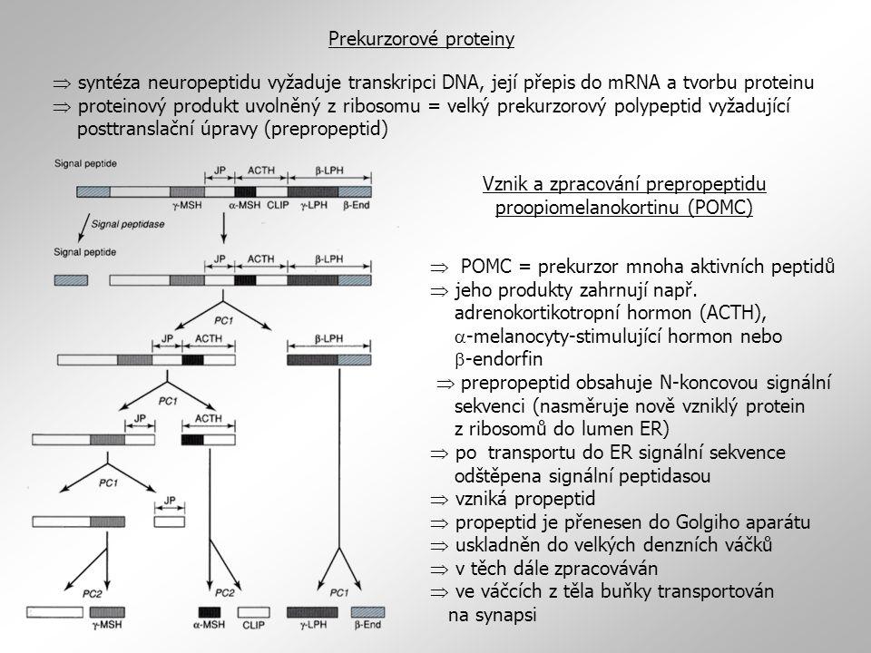 Vznik a zpracování prepropeptidu proopiomelanokortinu (POMC)
