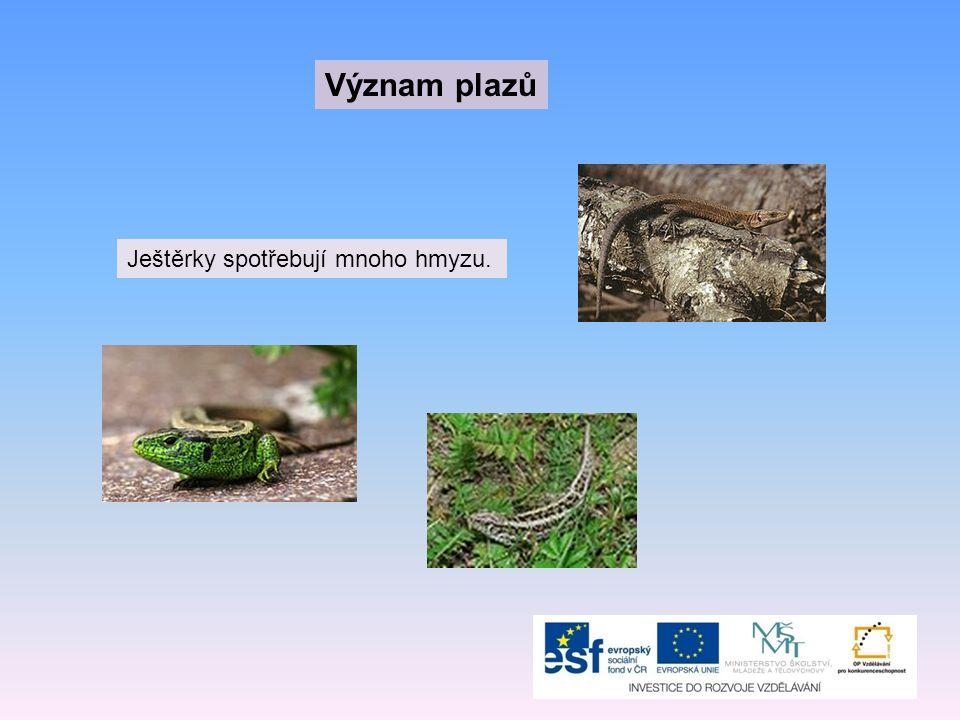 Význam plazů Ještěrky spotřebují mnoho hmyzu.