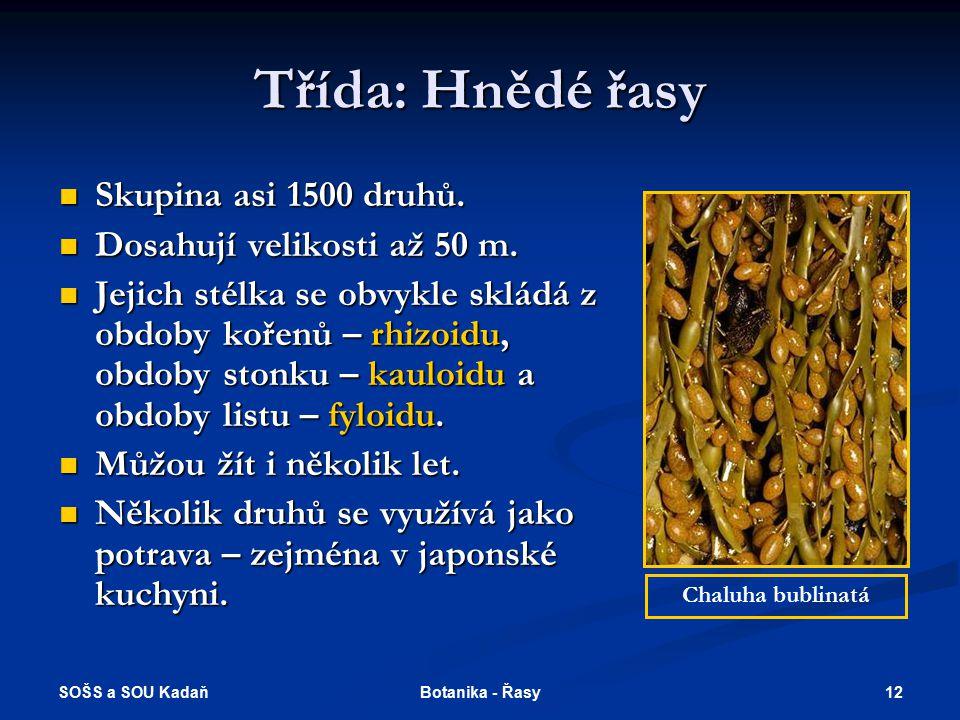 Třída: Hnědé řasy Skupina asi 1500 druhů. Dosahují velikosti až 50 m.