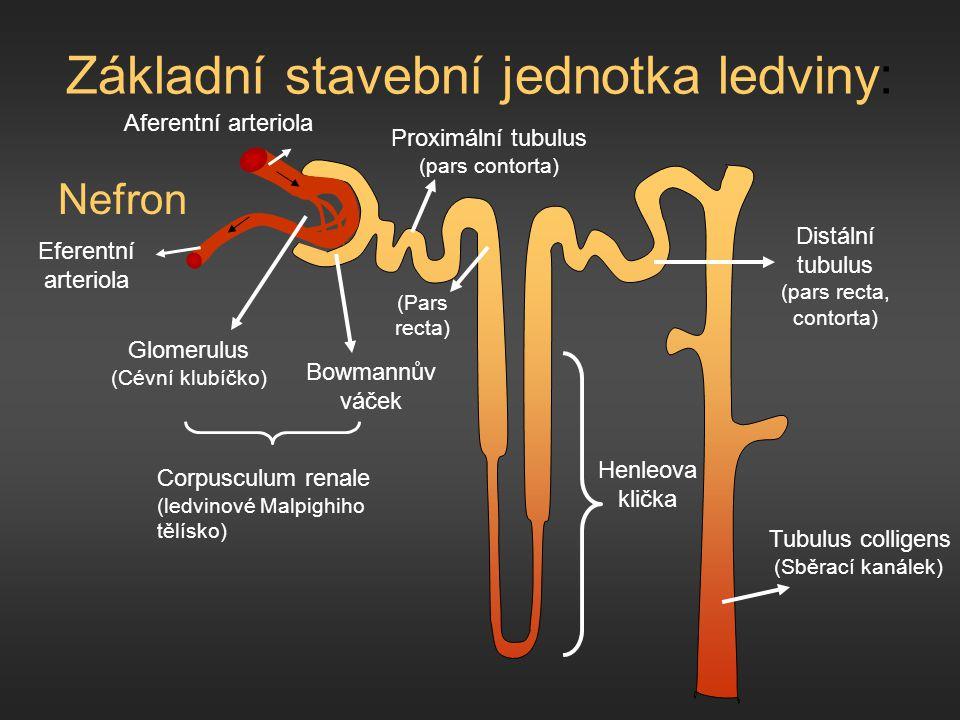 Základní stavební jednotka ledviny: