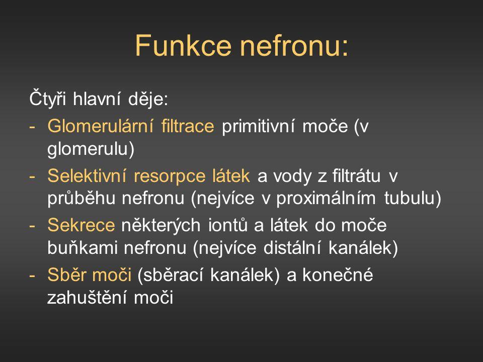 Funkce nefronu: Čtyři hlavní děje: