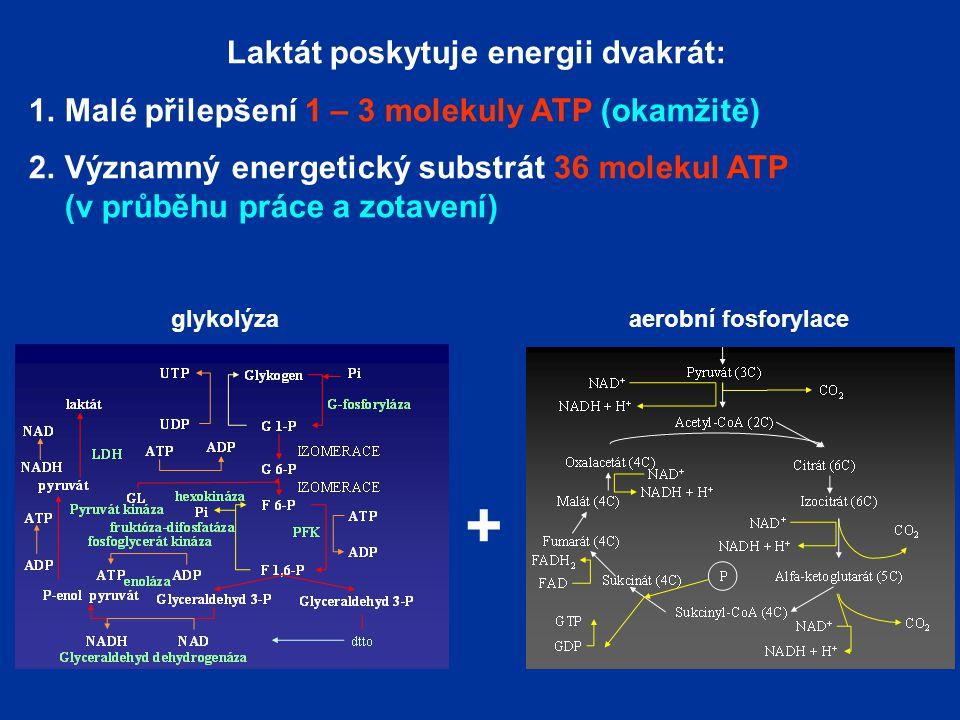 Laktát poskytuje energii dvakrát: