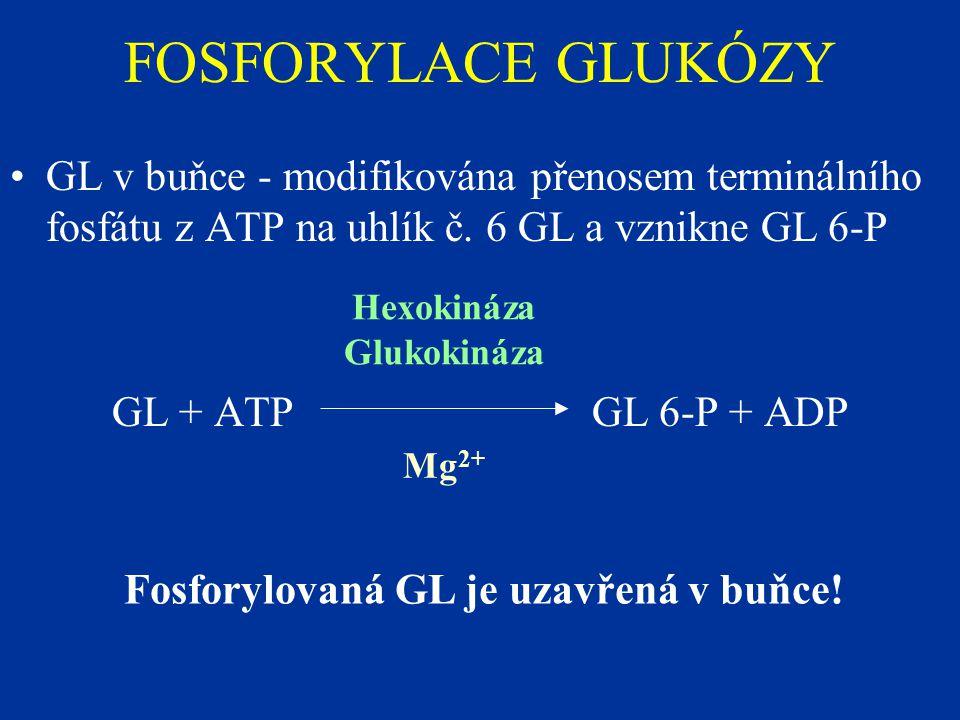 Fosforylovaná GL je uzavřená v buňce!