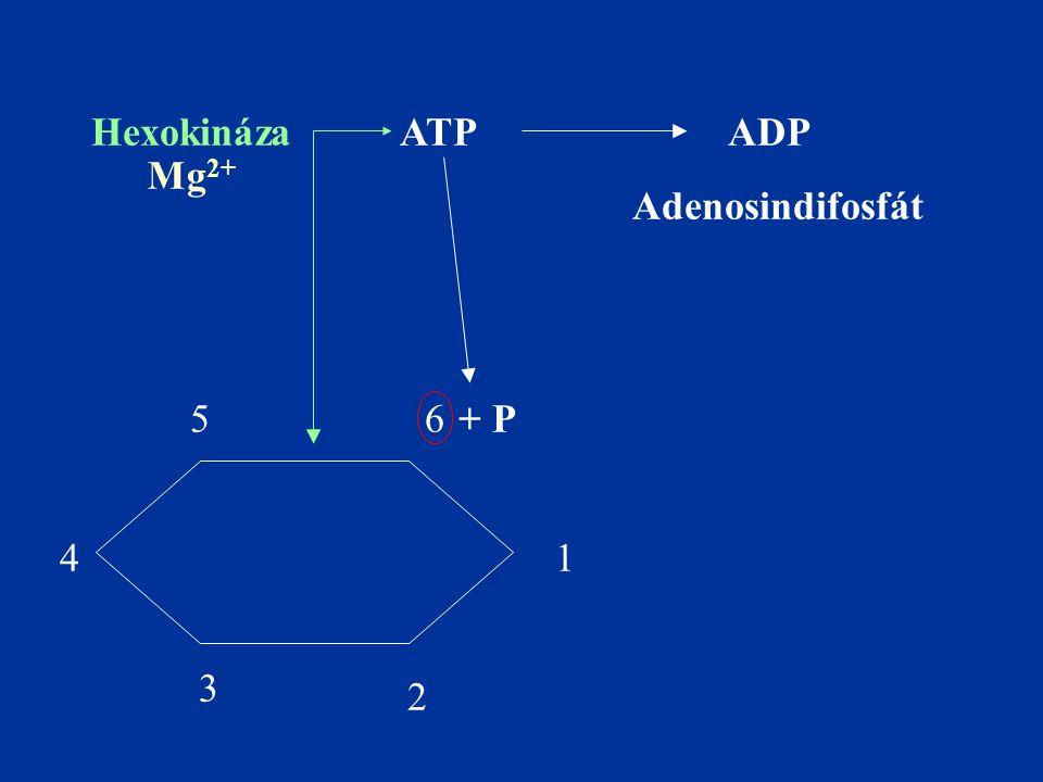 Hexokináza ATP ADP Mg2+ Adenosindifosfát + P 5 6 4 1 3 2