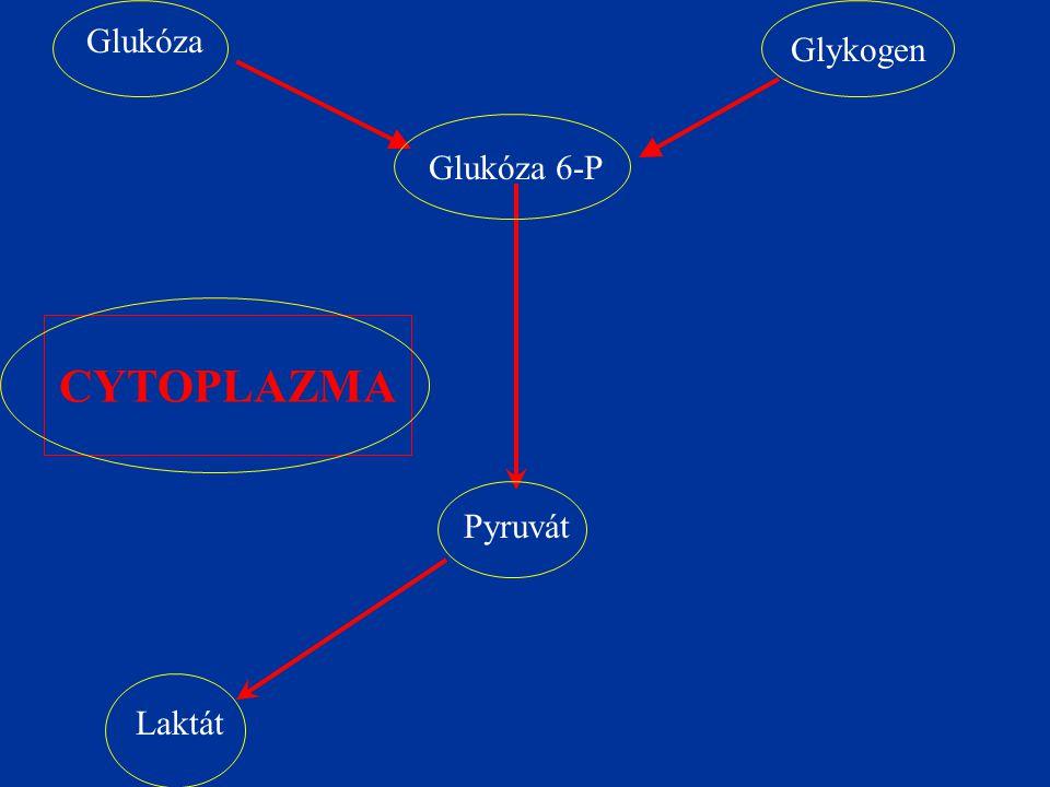 Glukóza Glykogen Glukóza 6-P CYTOPLAZMA Pyruvát Laktát