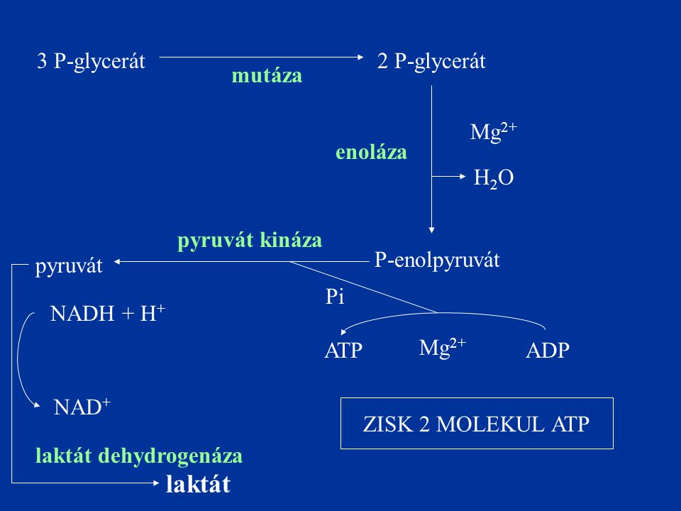 laktát 3 P-glycerát 2 P-glycerát mutáza Mg2+ enoláza H2O