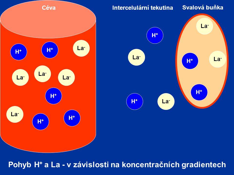 Pohyb H+ a La - v závislosti na koncentračních gradientech