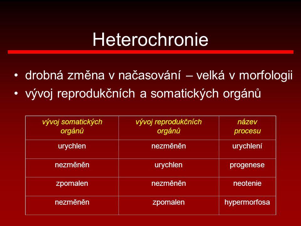 Heterochronie drobná změna v načasování – velká v morfologii