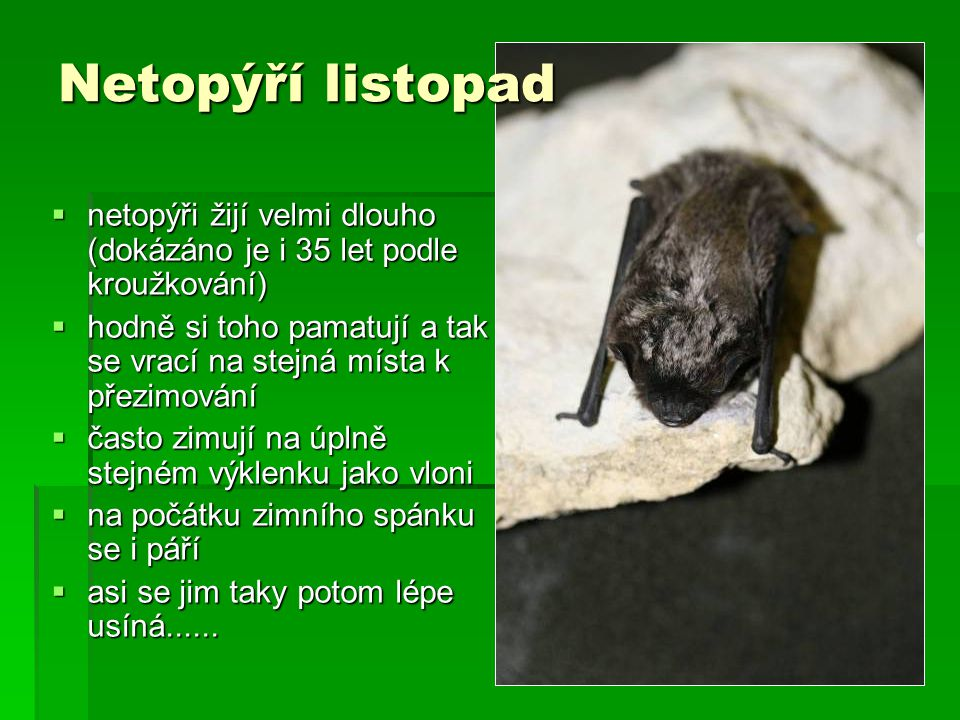 Netopýří listopad netopýři žijí velmi dlouho (dokázáno je i 35 let podle kroužkování)