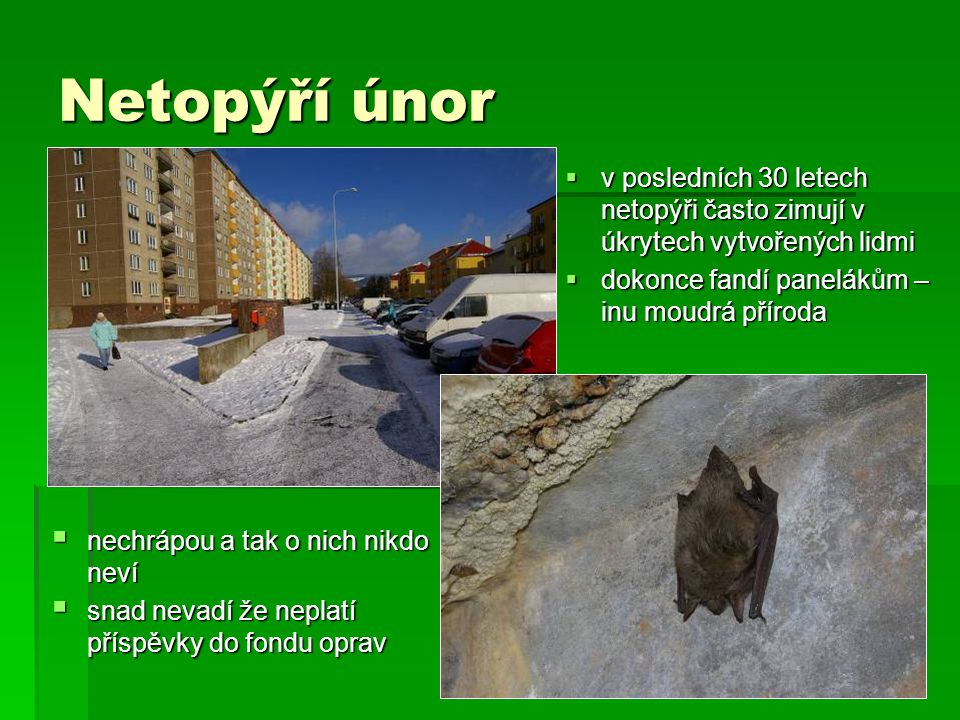 Netopýří únor v posledních 30 letech netopýři často zimují v úkrytech vytvořených lidmi. dokonce fandí panelákům – inu moudrá příroda.