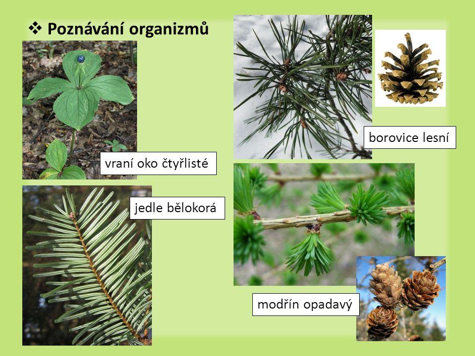 Poznávání organizmů borovice lesní vraní oko čtyřlisté jedle bělokorá