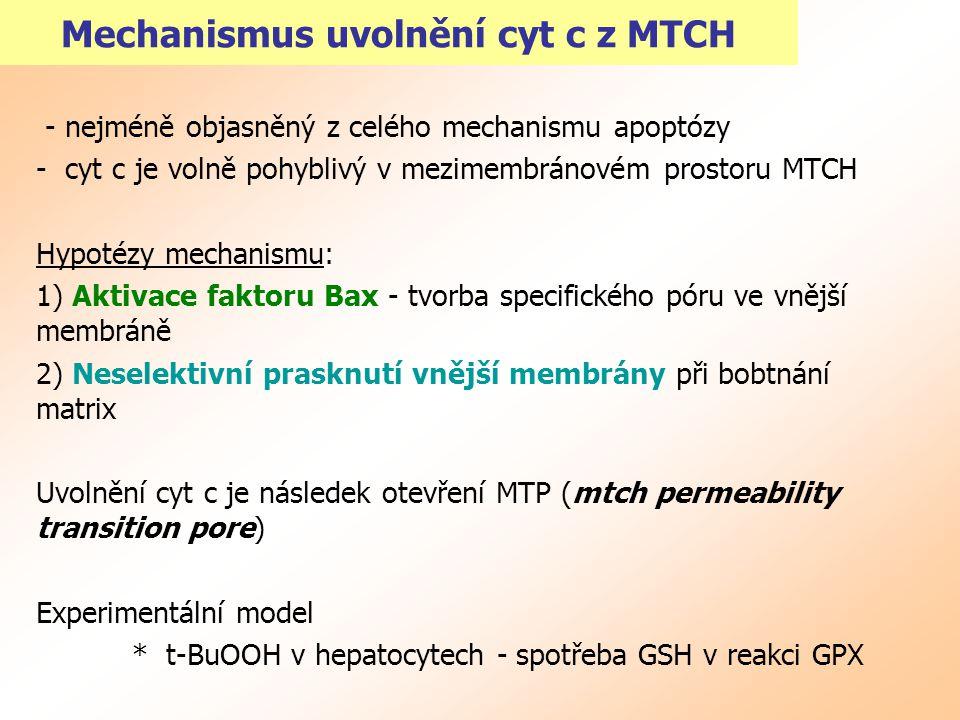 Mechanismus uvolnění cyt c z MTCH