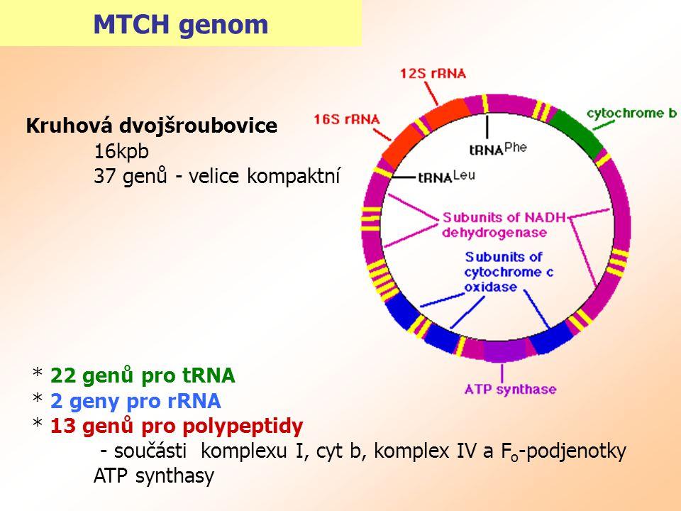 MTCH genom Kruhová dvojšroubovice 16kpb 37 genů - velice kompaktní