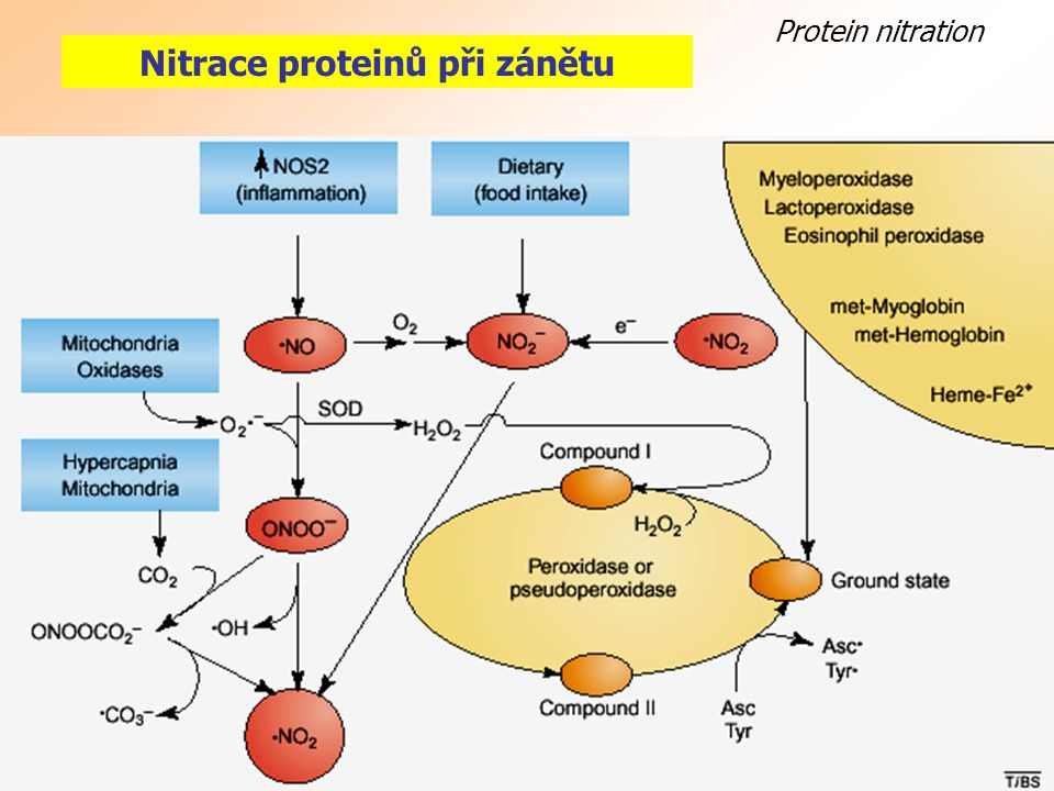 Nitrace proteinů při zánětu