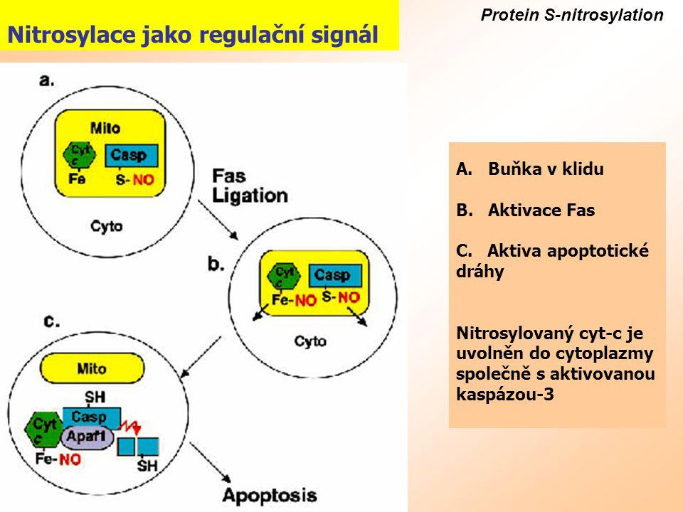 Protein S-nitrosylation