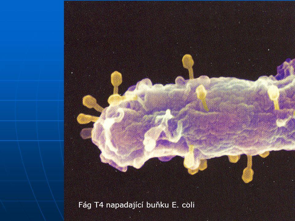 Bakteriofágy Fág T4 napadající buňku E. coli