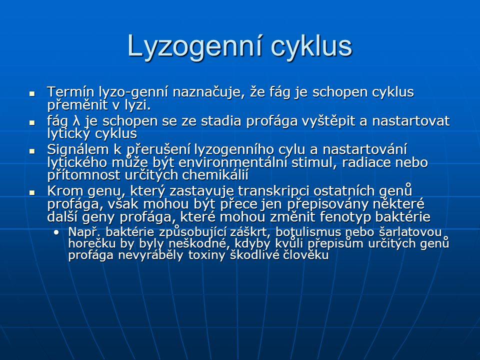 Lyzogenní cyklus Termín lyzo-genní naznačuje, že fág je schopen cyklus přeměnit v lyzi.