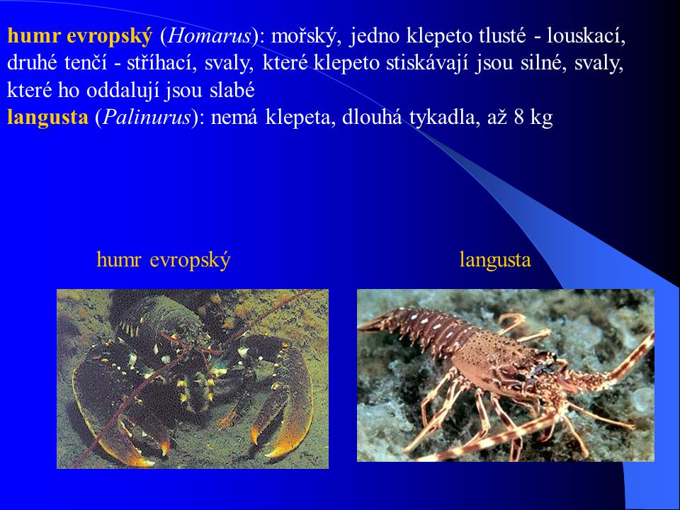 humr evropský (Homarus): mořský, jedno klepeto tlusté - louskací, druhé tenčí - stříhací, svaly, které klepeto stiskávají jsou silné, svaly, které ho oddalují jsou slabé langusta (Palinurus): nemá klepeta, dlouhá tykadla, až 8 kg
