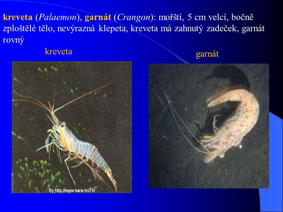 kreveta (Palaemon), garnát (Crangon): mořští, 5 cm velcí, bočně zploštělé tělo, nevýrazná klepeta, kreveta má zahnutý zadeček, garnát rovný