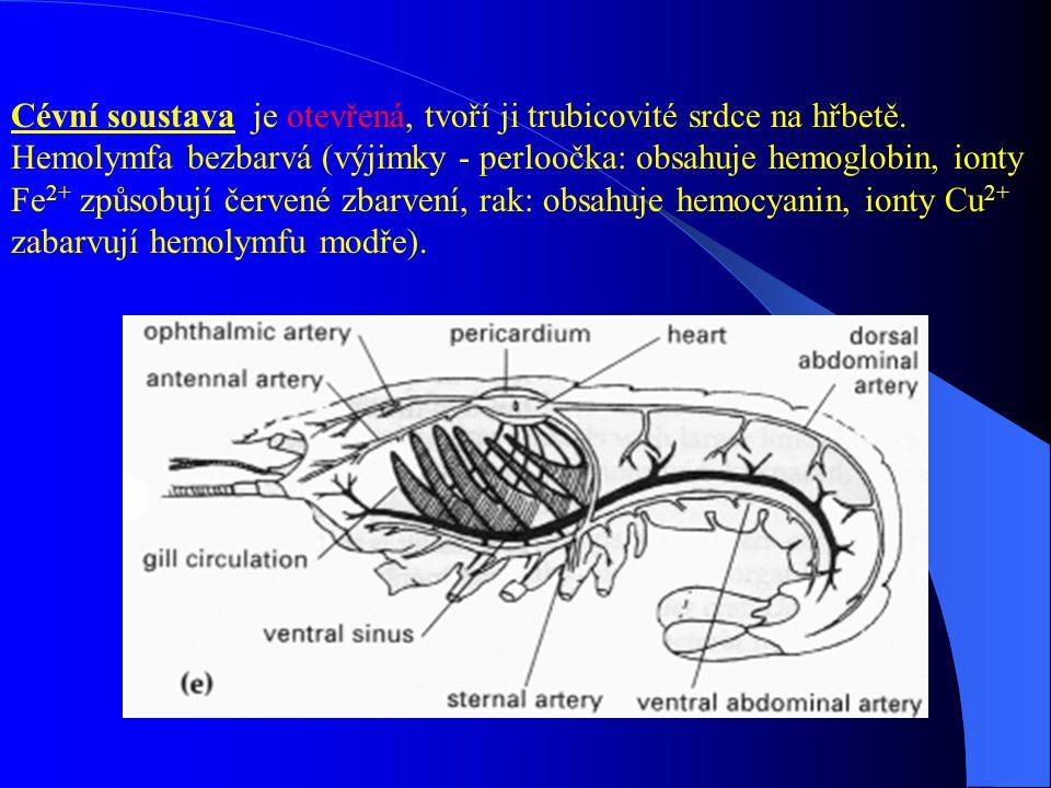 Cévní soustava je otevřená, tvoří ji trubicovité srdce na hřbetě