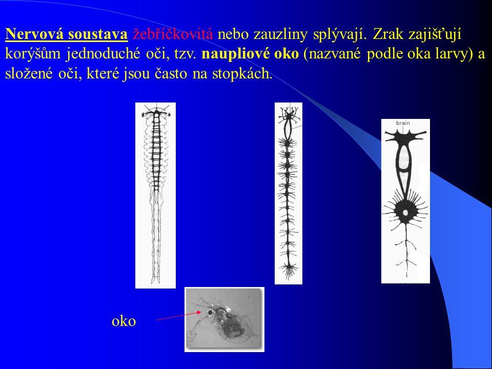 Nervová soustava žebříčkovitá nebo zauzliny splývají